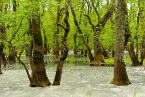 padurea letea copaci